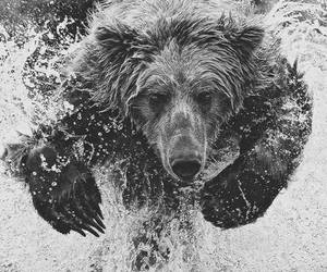 bear, water, and animal image