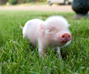 pig, piglet, and cute image