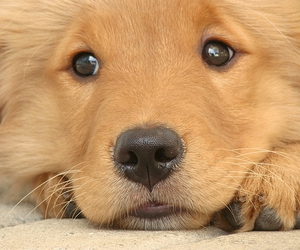 dogs, golden, and puppy image