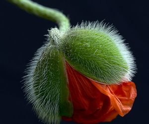 macro, Papaver, and photography image