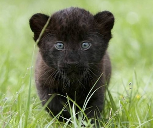 cub, panther, and cute image