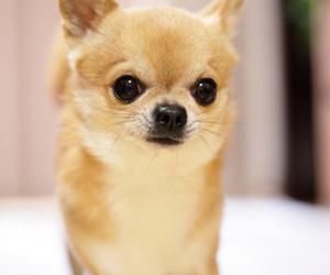 cute, chihuahua, and dog image