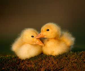birds, cute animals, and ducklings image
