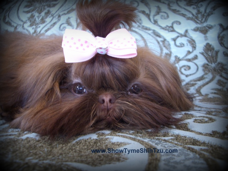 Chocolate Shih Tzu Discovered By Briel On We Heart It