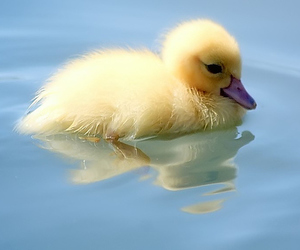 duck, cute, and duckling image
