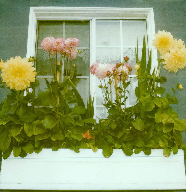 cottage, country, and dahlias image