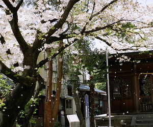 cherry blossom, japan, and photography image