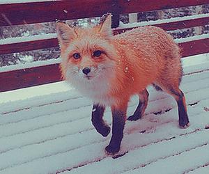 fox, snow, and animal image