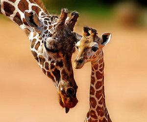giraffe and animal image