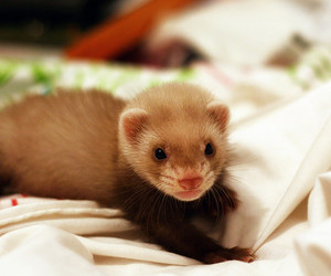 baby animal, ferret, and furry image