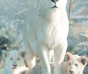 lion, white, and animal image