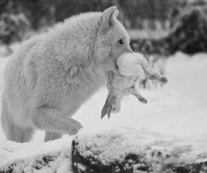 wolf, nature, and photography image