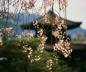 asia, cherry blossom, and flowers image