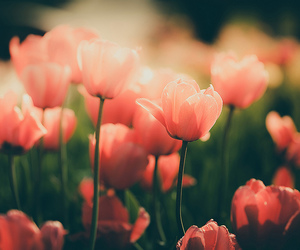 flower, tulip, and blossom image