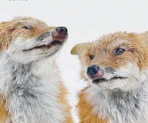 foxes image