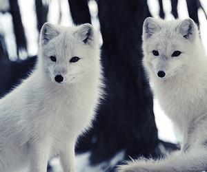 animal, fox, and cat image