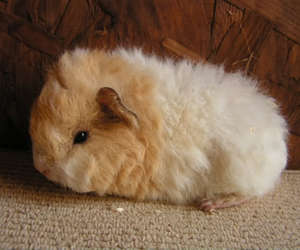 baby, guinea pig, and cute image