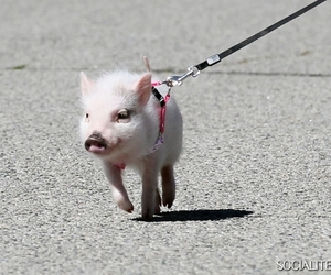 adorable, pig, and cute image