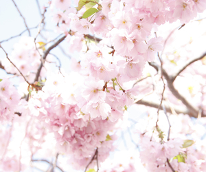 cherry, cherry blossom, and flowers image