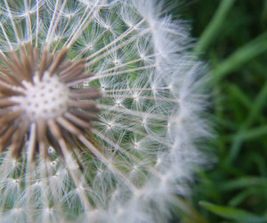 dandelion, nature, and time image