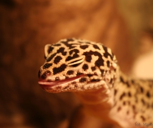 animals, leopard gecko, and funny image