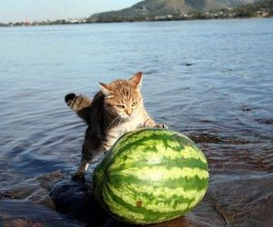 cat, funny, and watermelon image