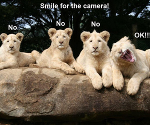 animals, funny, and lion image