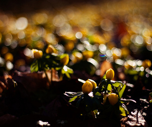 flowers, yellow, and aconites image