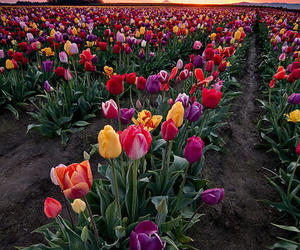 beautiful, flower, and tulip image