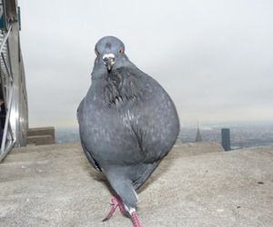 pigeon and funny image