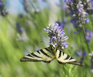 butterfly, pretty, and lavender image