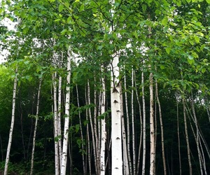 birch, leaves, and New Hampshire image