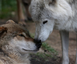 wolf, animal, and love image