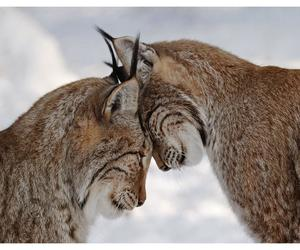 cats, love, and lynx lynx image