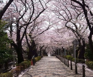 cherry blossom, japan, and photograpy image
