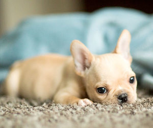 french bulldog, frenchie, and cute image