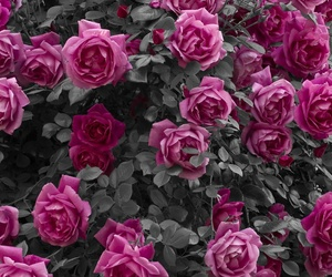 flowers, roses, and islove image