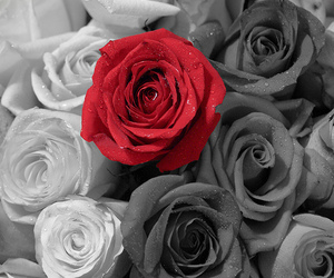 red, rose, and black image