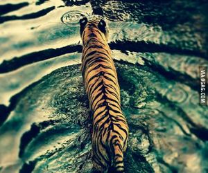 tiger, water, and perfect image