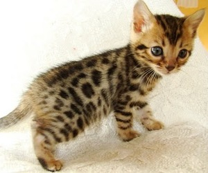 bengal, cat, and kitten image