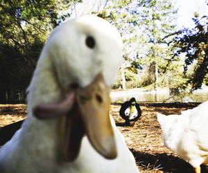 duck, funny, and tounge image