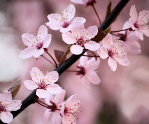 cherry blossom, nature, and pretty image