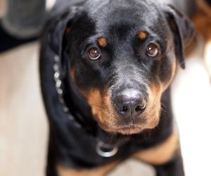 dog, photo, and rottweiler image
