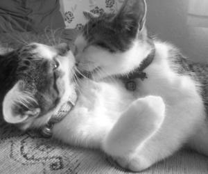 animal, b&w, and cat image