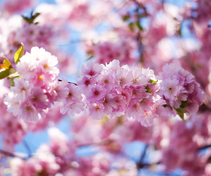 cherry, floral, and flowers image