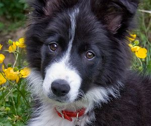 border collie, puppy, and djur image