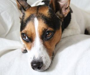 animal, dog, and jack russell terrier image