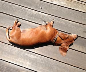 dachshund and dog image