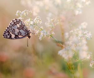 papillon, macro, and Nikkor image