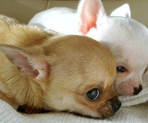 chihuahua, dog, and animal image